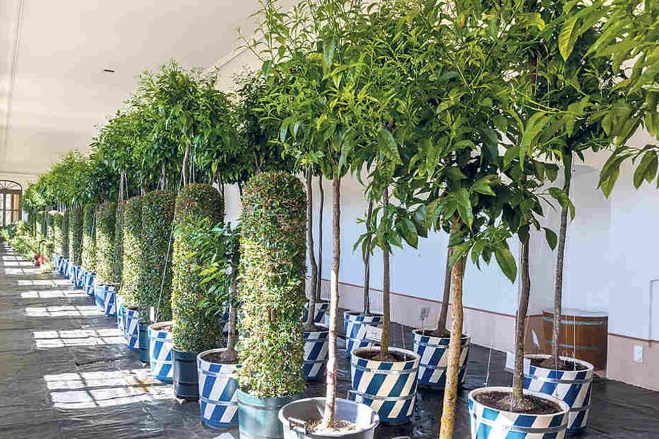 Wie zu Augusts Zeiten in runden, weiß-blauen Kübeln: 76 Bäume überwintern  derzeit in der Orangerie im Barockgarten Großsedlitz.