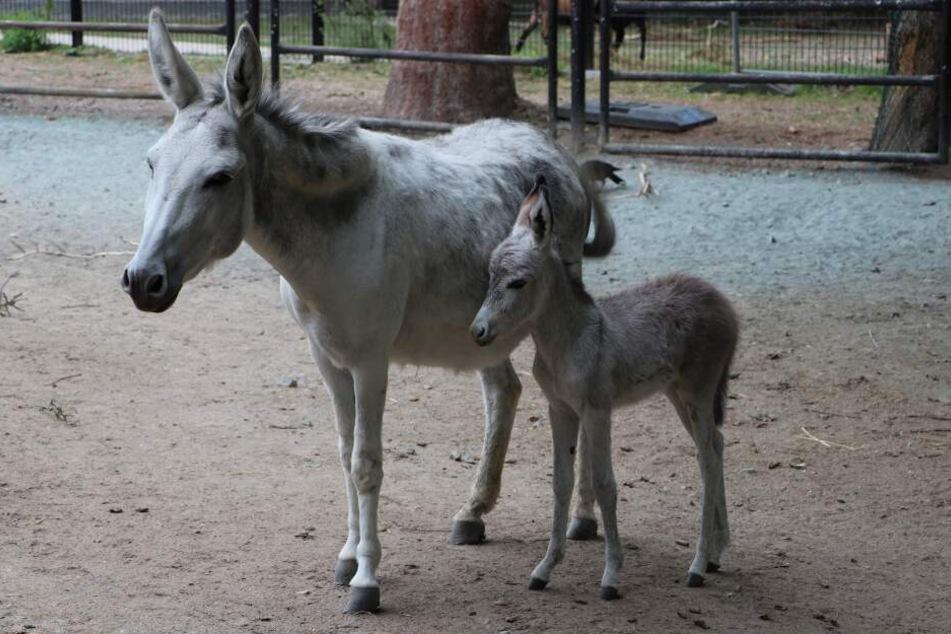 Herdenvergrößerung und mehr: Nachwuchs im Tierpark Chemnitz