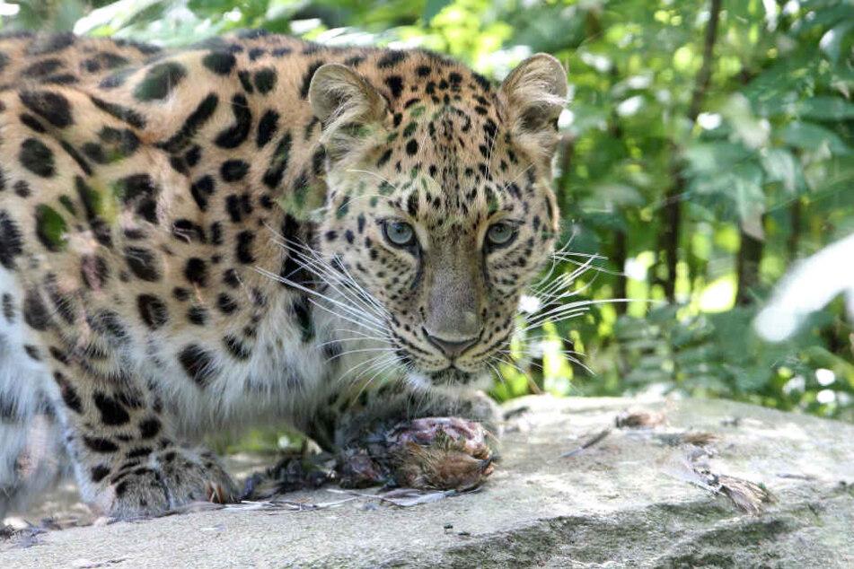 Leoparden-Weibchen Mia hatte im Juli zum ersten Mal Nachwuchs bekommen.