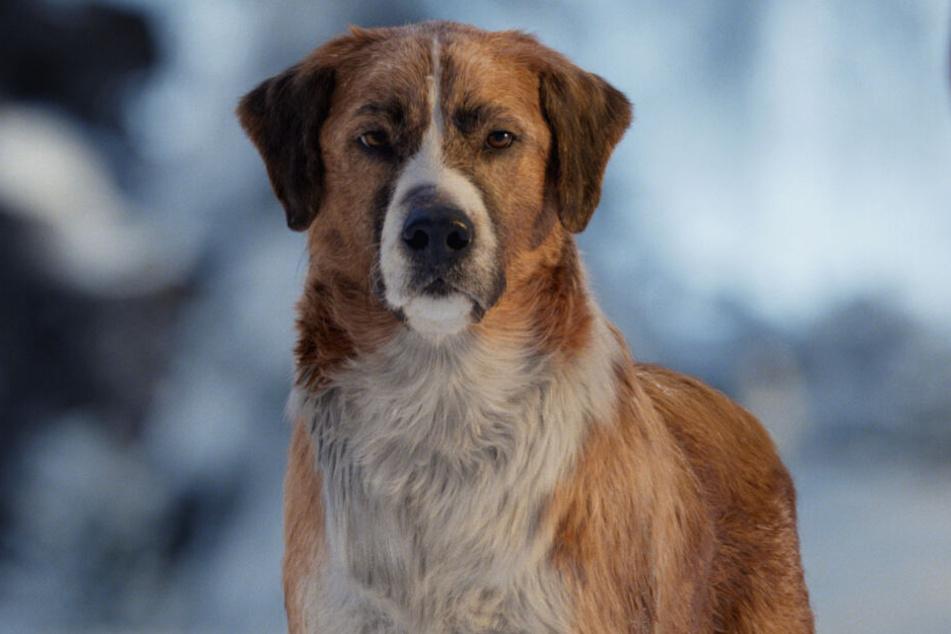 Der Hund Buck wurde komplett am Computer animiert. Das sieht man im Film mitunter sehr deutlich.