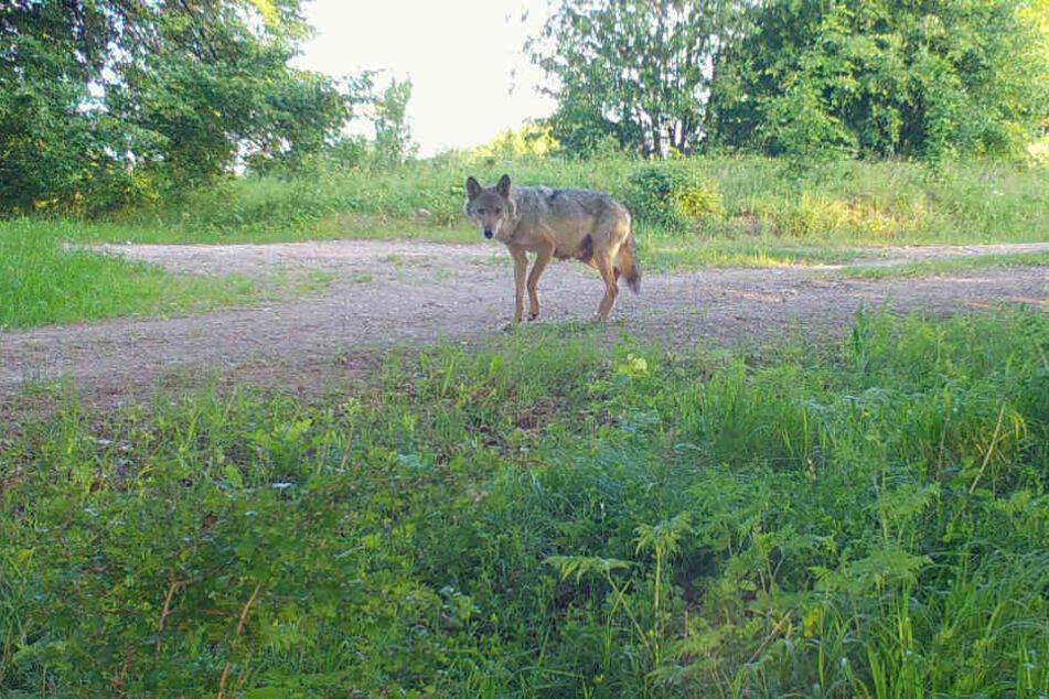 Nächster Wolf-Hund-Mischling in Thüringen abgeschossen