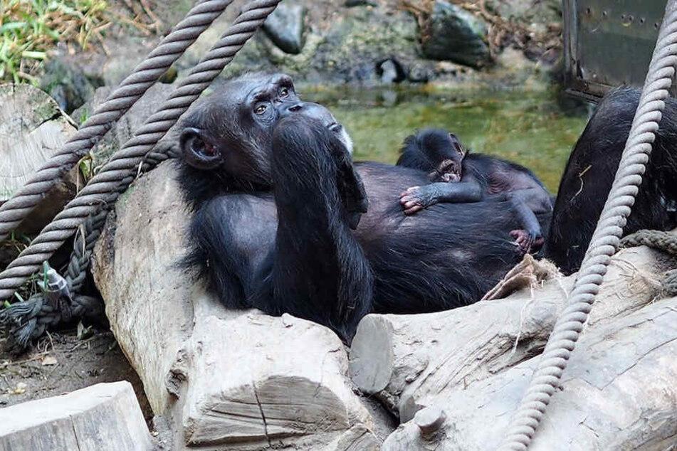 Schimpansen-Mama Natascha hält ihr Junges behutsam im Arm.