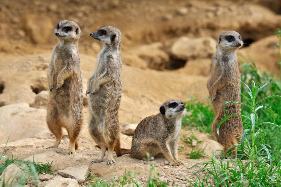 Die Gruppe der Erdmännchen im Kölner Zoo wurde teils ausgetauscht.