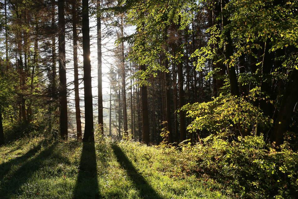 Der Vermisste wollte Pilze in einem Wald suchen und kehrte nicht zurück. (Symbolbild)