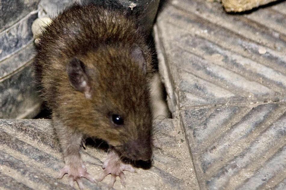 Eine Ratte als Haustier? Beliebt! Viele Tiere sind jedoch problematisch. (Symbolbild)