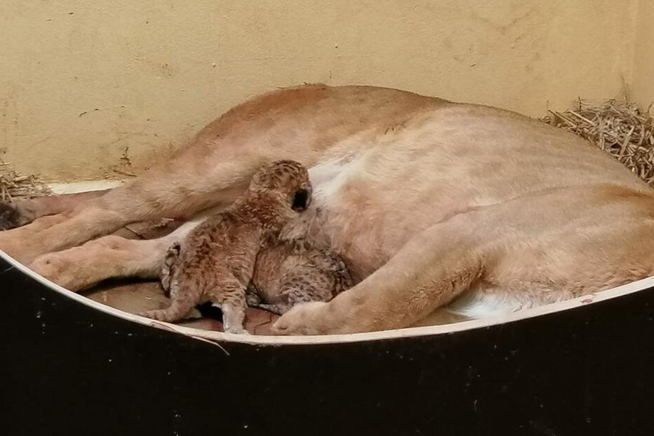 Drama um Löwen-Babys! Mama Bastet kümmert sich nicht um sie