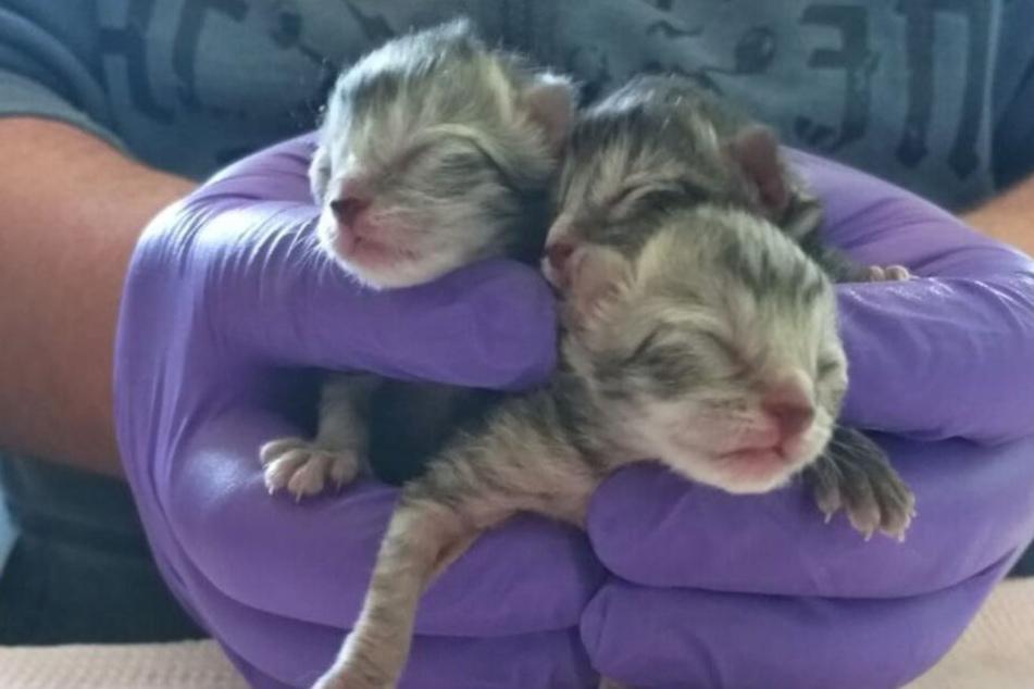Dramatische Folgen! Wenige Tage alte Katzenbabys einfach vor Tierheim ausgesetzt