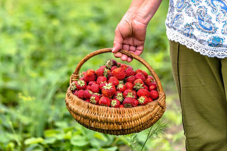 Ernteklau macht Sachsens Landwirten zu schaffen!