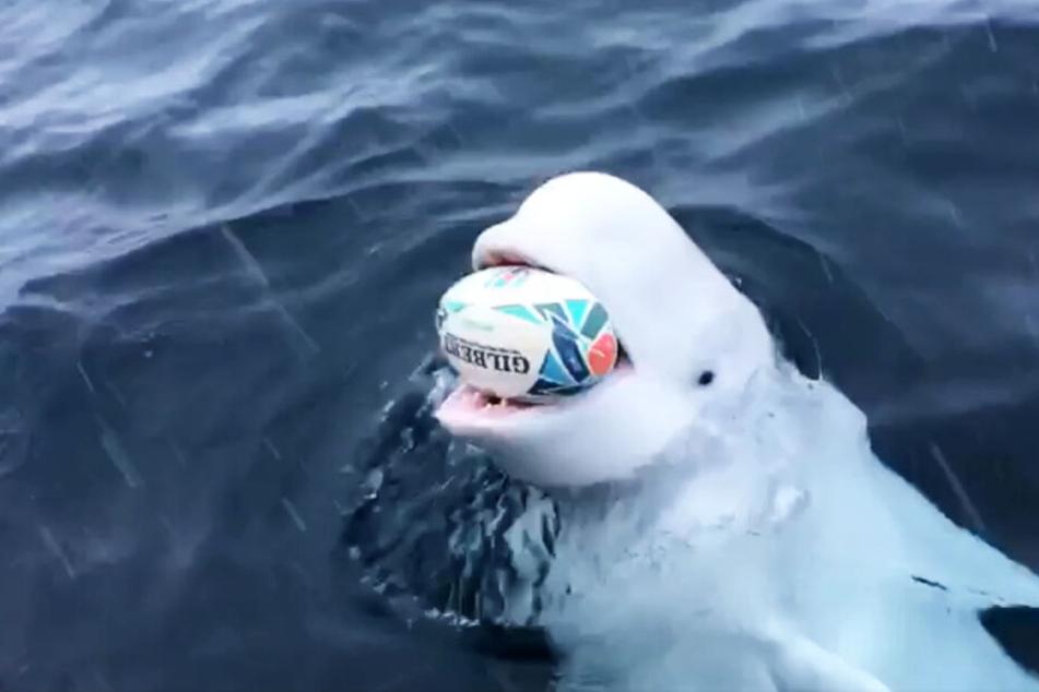 Der Wal bringt den Rugbyball immer wieder zurück.