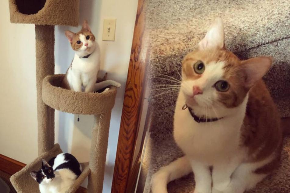 So bewegt sich dieses behinderte Kätzchen ohne Hinterbeine durchs Leben