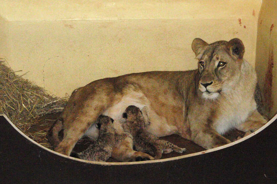 """Putziger Nachwuchs: Löwenmutter """"Bastet"""" mit ihren zwei neugeborenen Löwenbabys."""