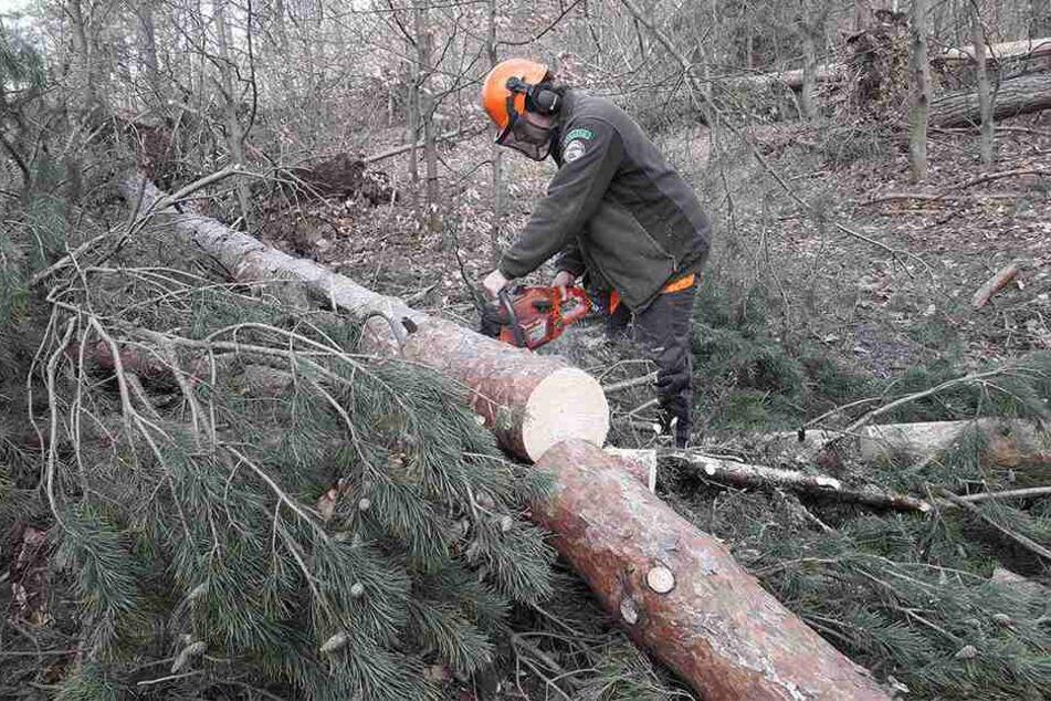 Forstarbeiter – wie hier in der Sächsischen Schweiz – haben alle Hände voll zu tun, bevor der Borkenkäfer angreift.