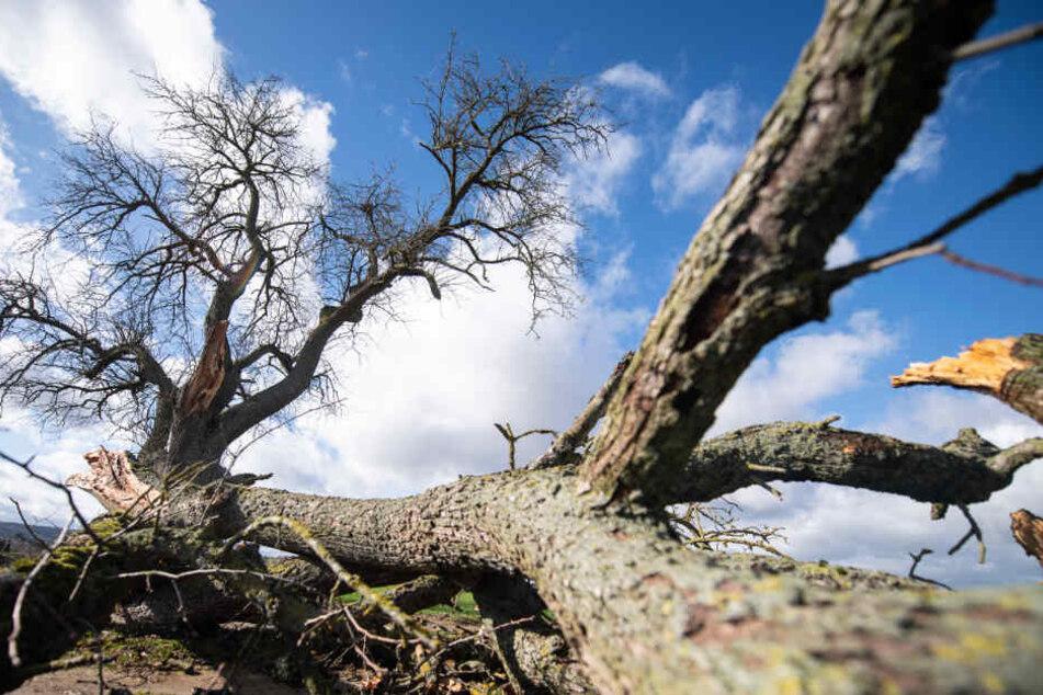 Ein abgebrochener Ast liegt neben einem Baum.