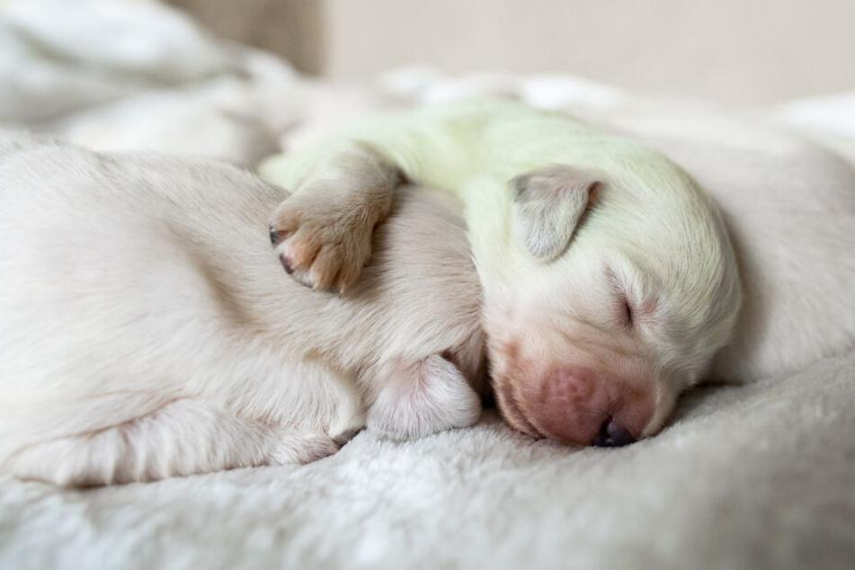 Warum wurde dieser Hund mit grünem Fell geboren?