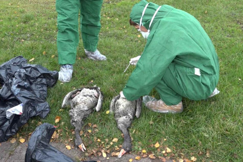 Mitarbeiter des Veterinäramts Plön nehmen in Schutzanzügen Proben von toten Gänsen am Plöner See bei Dersau (Schleswig-Holstein).