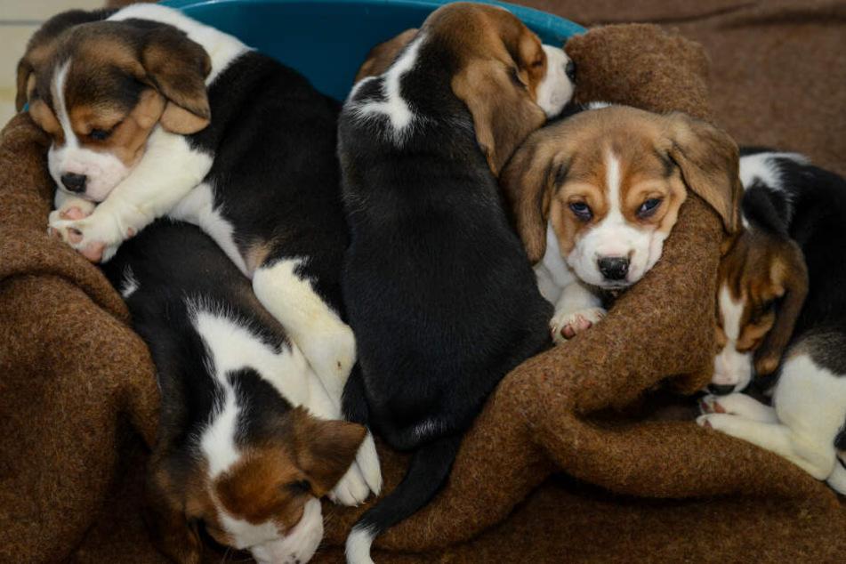 Illegaler Welpenhandel kommt leider häufig vor. Diese Hunde hat die Polizei aber befreit (Symbolfoto).
