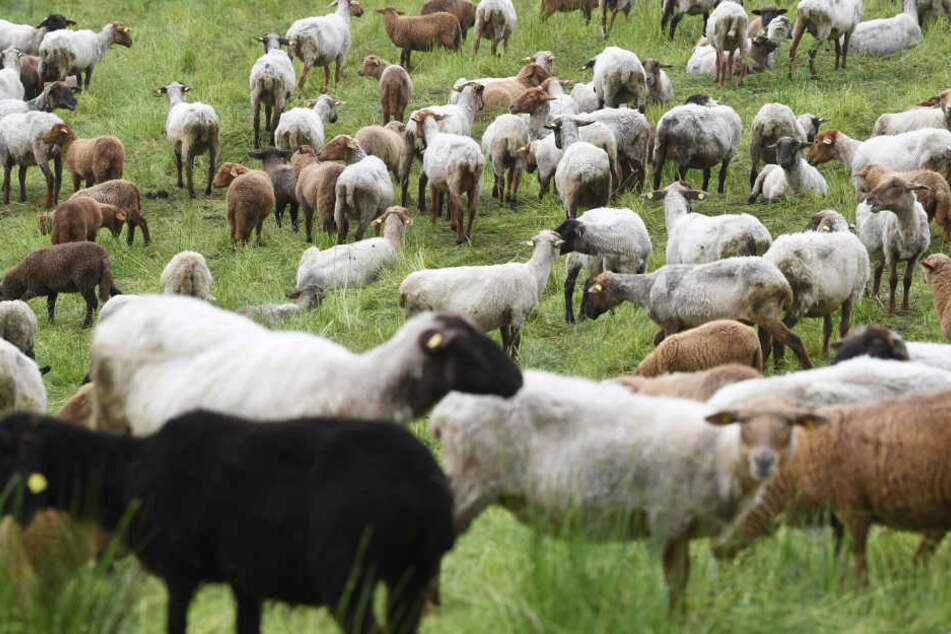 Ein Autofahrer war den Angaben zufolge am frühen Montagmorgen in die Schafsherde gefahren. (Symbolbild)