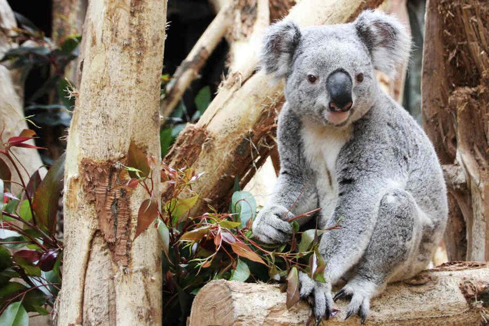 Koala Oobi Ooobi möchte nichts mit seinem Artgenossen im Zoo Leipzig zu tun haben.