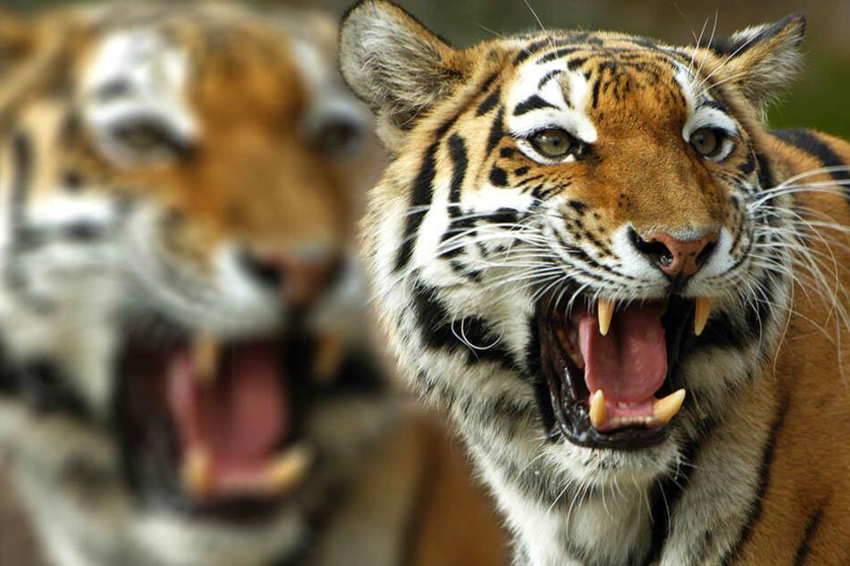 Das Leben von 13 Personen soll eine Tigerkatze in Indien auf dem Gewissen gehabt haben.