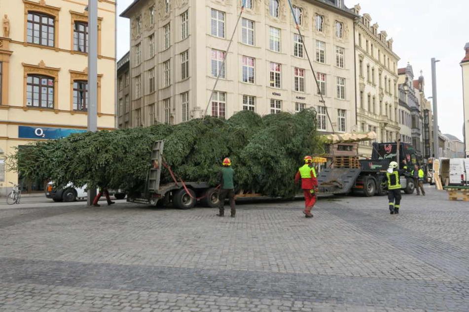 Etwa 23 Meter soll der Baum hoch sein.
