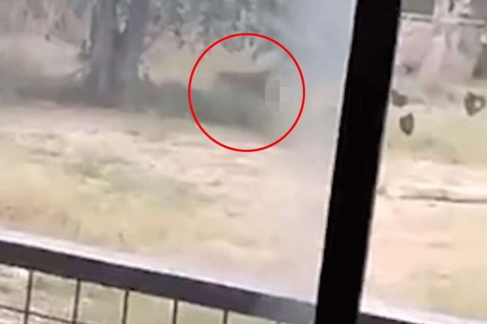 In bewegten Bildern besser zu erkennen: Einer der Löwen zerrt sein Opfer mit sich.