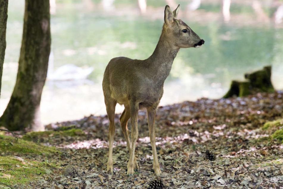 """""""Bambi"""" wäre fast verhungert, doch das Schicksal meinte es gut mit dem Rehbock."""