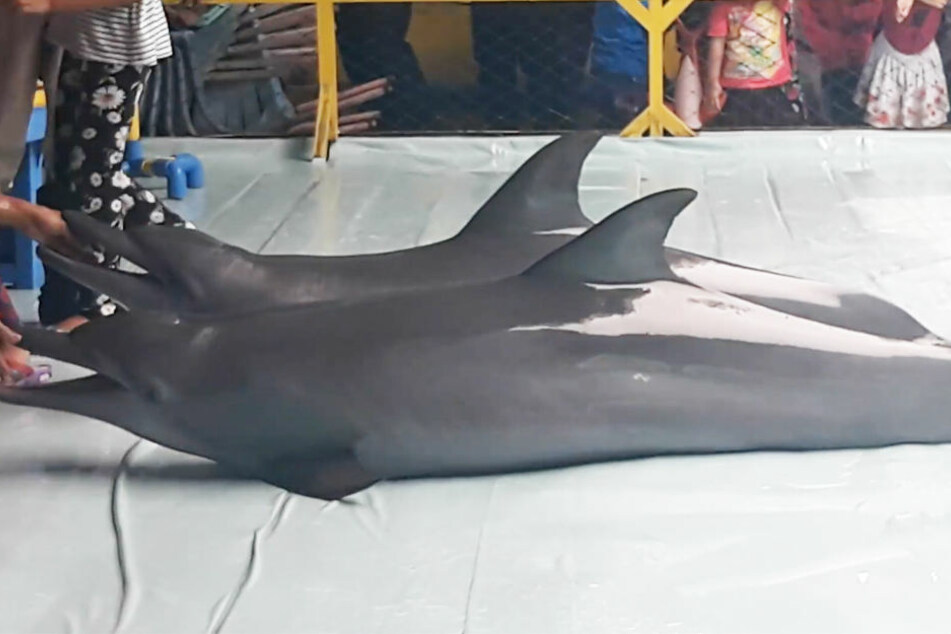 Die Delfine müssen minutenlang an Land liegen, um Selfies mit Zuschauern machen zu können.
