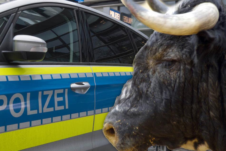 Wildgewordener Stier büxt aus und rammt Streifenwagen