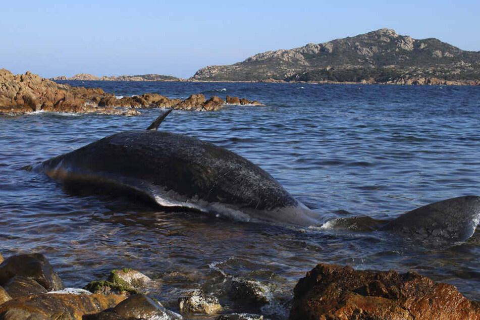 Bereits im März starb ein Wal am Strand von Sardinien, weil er voll mit Plastik war. (Archivbild)