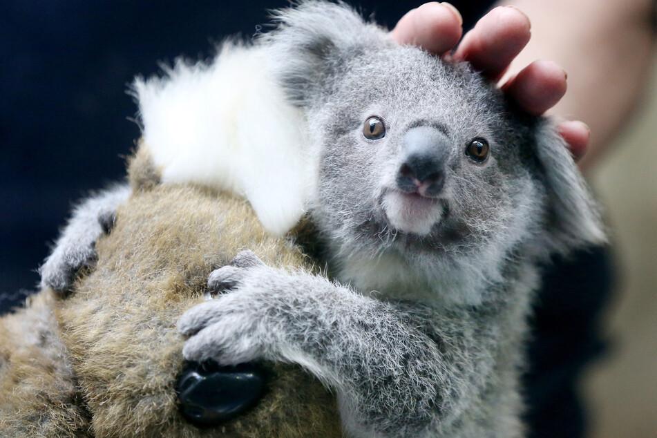Koala-Baby Eerin wird von Tierpfleger Mario Chindemi beim Wiegen gestreichelt.