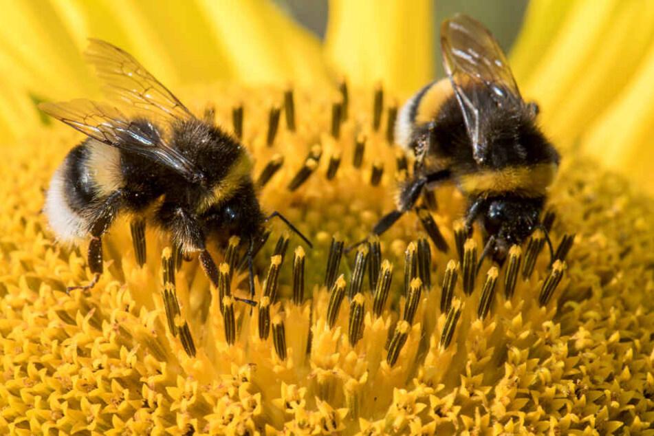 Zwei Hummeln krabbeln über die Blüte einer Sonnenblume. Der Nabu will die flauschigen Wildbienen besser schützen.