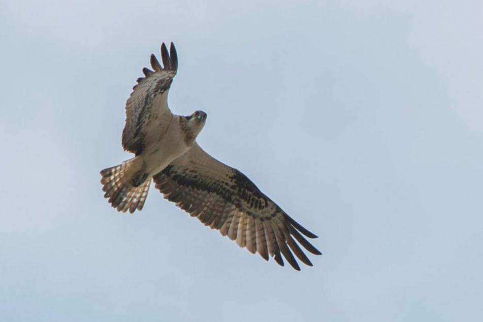 Der Vogel ist in unseren Breitengraden eher selten, nistet meist im  Norden.