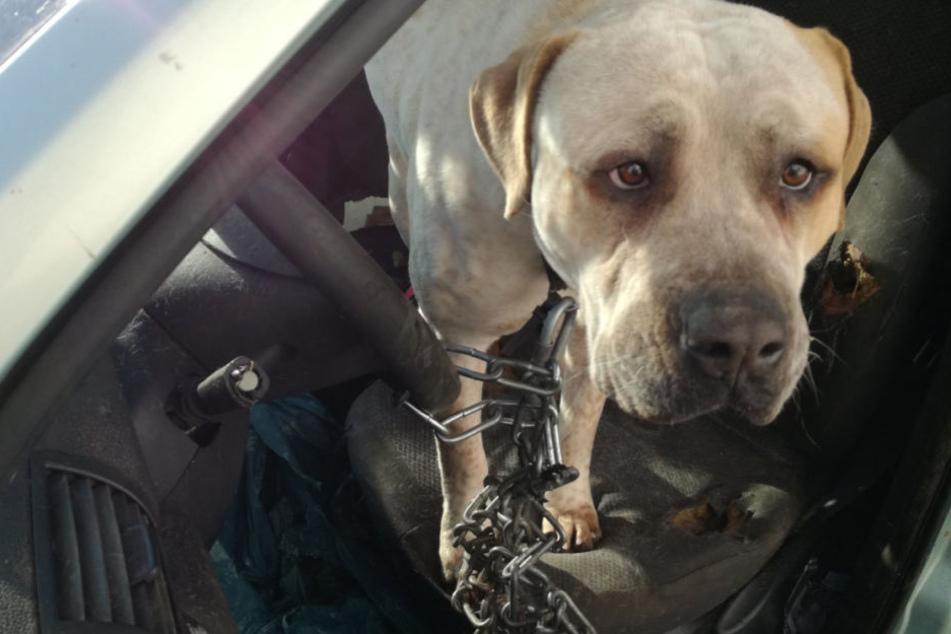 Der in dem Auto angekettete Hund konnte sich dort kaum bewegen..