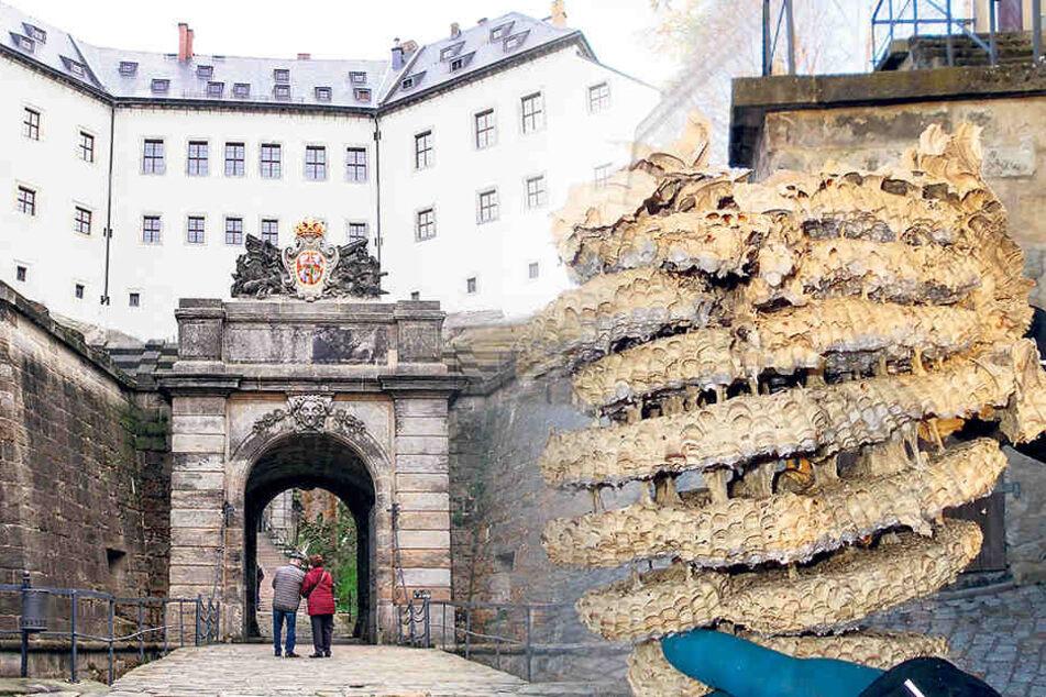 Dieses Hornissen-Nest entfernten Mitarbeiter jetzt in der Festung Königstein.