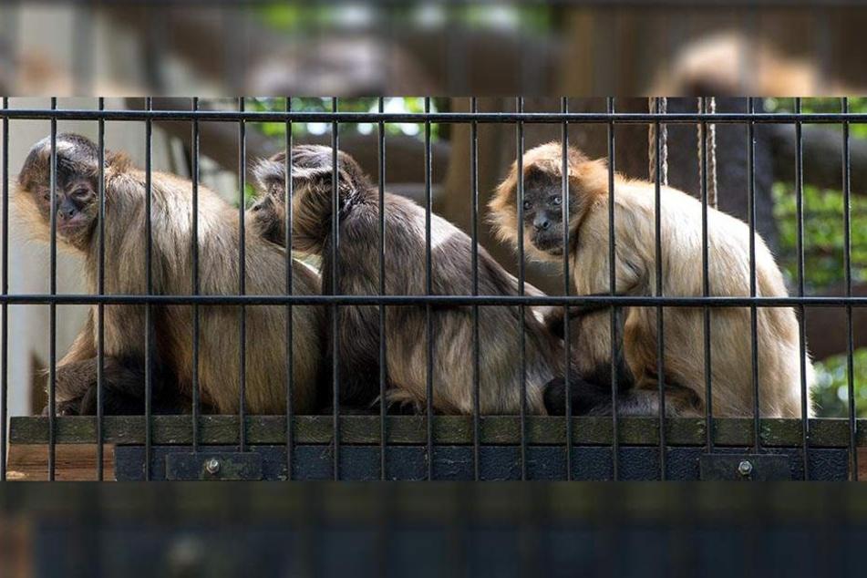 Auch bei den Affen werden Konflikte gern mal durch Sex gelöst. Hier suchen die Geoffroy-Klammeraffen die Nähe des Anderen.