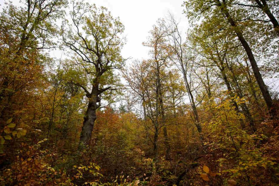 Als Ausgleich für gefällte Bäume beim Projekt Stuttgart 21 werden in einem Waldstück bei Waldenbuch Maßnahmen zum Schutz der Juchtenkäfer getroffen.