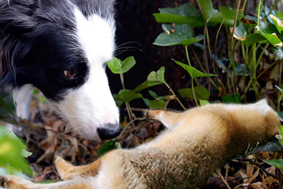 Hunde, Füchse und ein Wildschwein sind bislang verstorben. (Bildmontage)