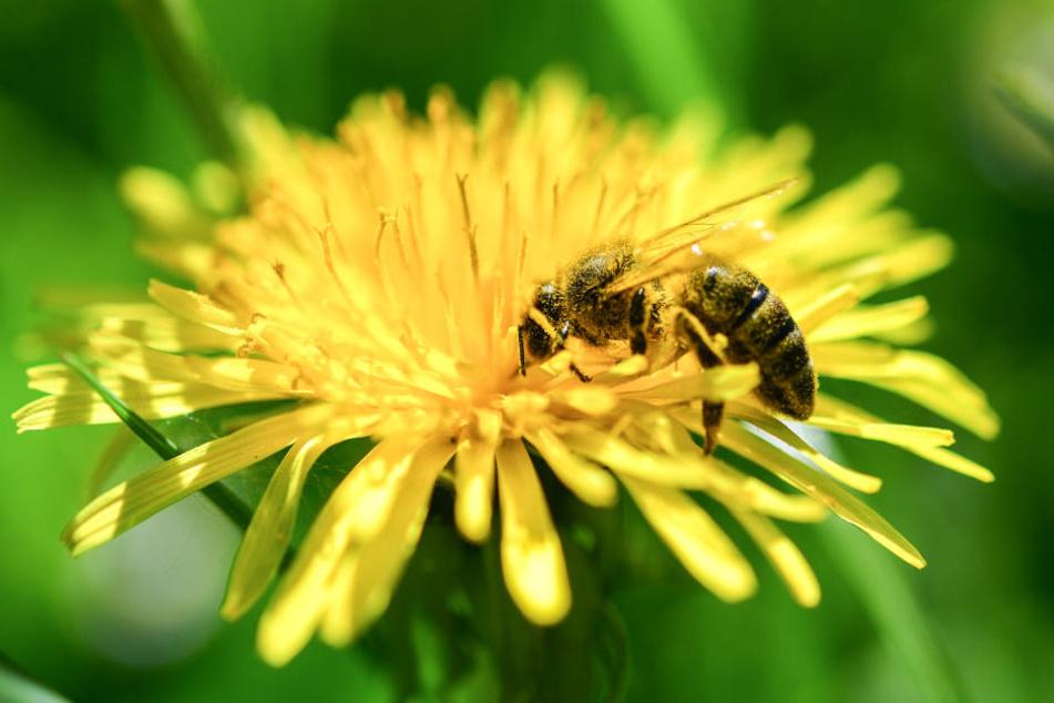 Bienen sind für etwa ein Drittel aller Lebensmittel verantwortlich.
