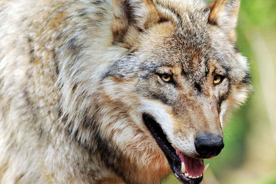 In Tegel wurden bereits die ersten Wölfe gesichtet.
