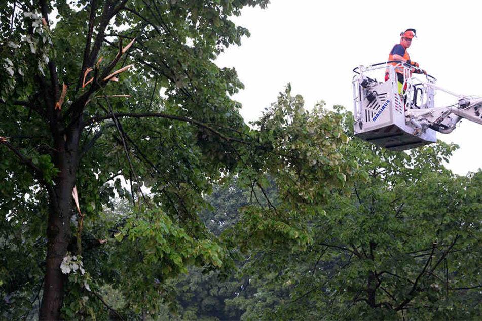 Mit einer Drehleiter der Feuerwehr wurden die Kronen der betroffenen Linden bearbeitet.