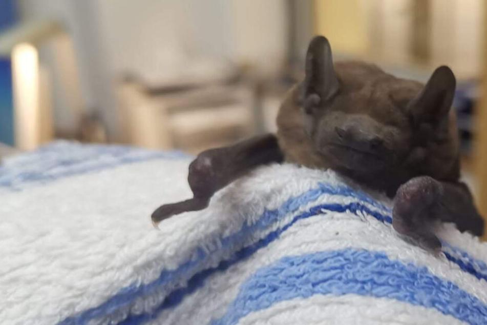 Kleiner Vampir in Not! Bundespolizei rettet dehydrierte Fledermaus