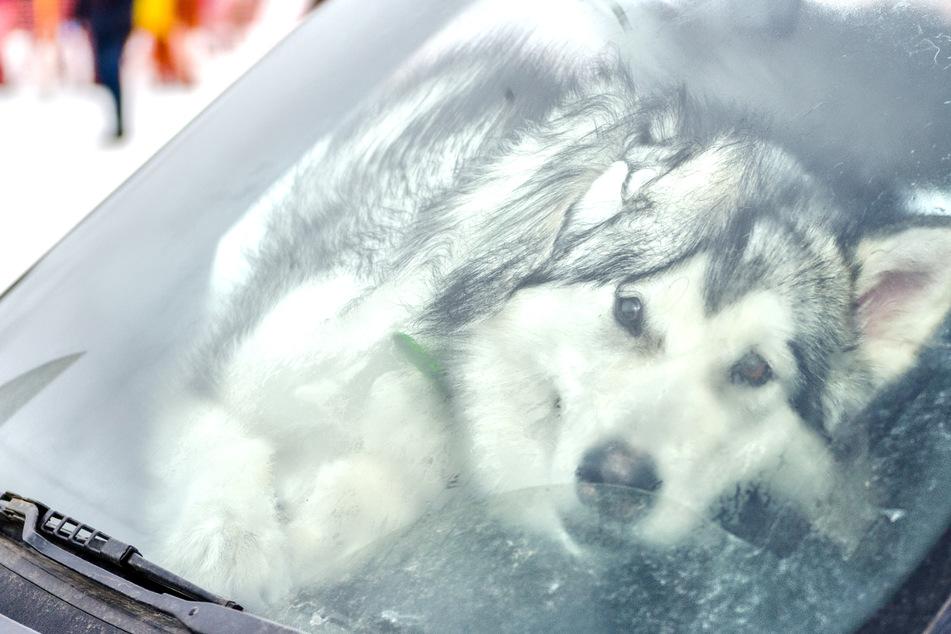 Die Hundehalterin (37) hatte ihren Husky allein und ohne Wasser in einem in der Sonne stehenden Auto zurückgelassen gelassen. (Symbolbild)