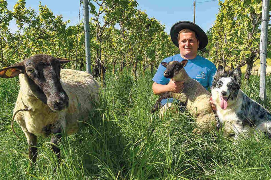 """Hobby-Schäfer Sebastian Hänsel (37) überwacht mit Hündin Luna das """"Rasen mähen"""" der Schafe."""