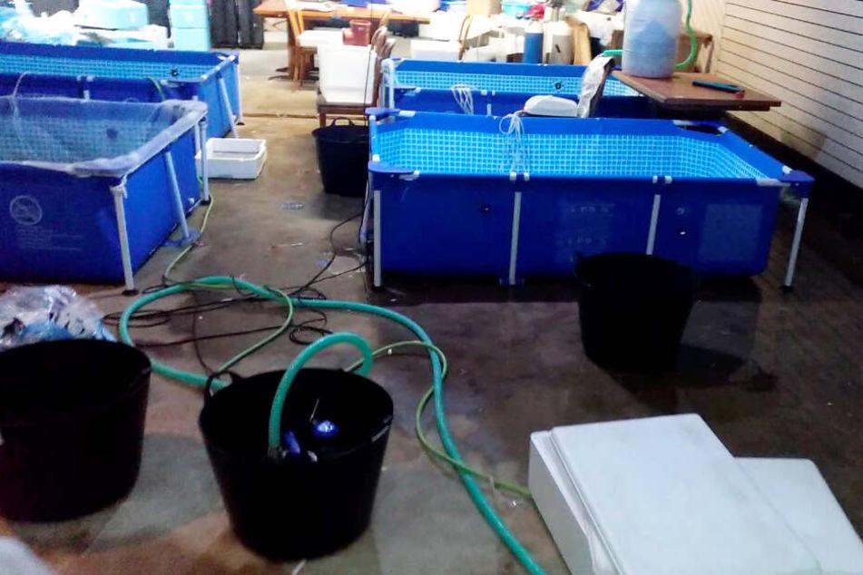 Die Zoll-Fahnder fanden in dem geschlossenen Restaurant vier große Wasserbecken sowie weiteres Equipment.