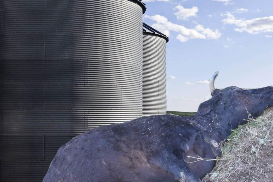 Ein 29-jähriger Bauer und 16 Kühe starben in Wisconsin, USA, nachdem der Farmer einen Gülle-Tank öffnete (Symbolbild).