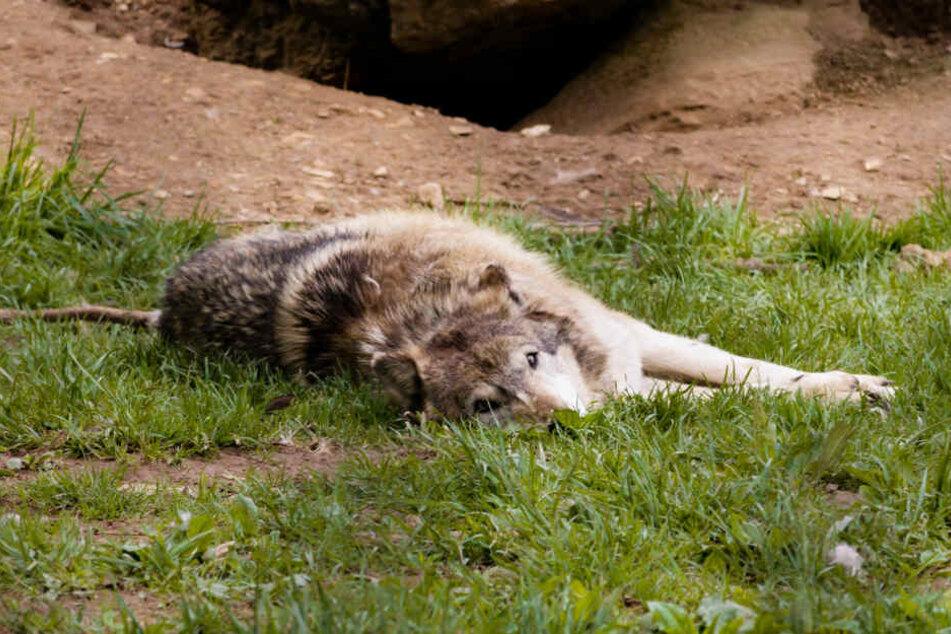 Ein Tier wurde noch auf dem Gelände des Wildparks erlegt, das zweite konnte flüchten (Symbolbild).