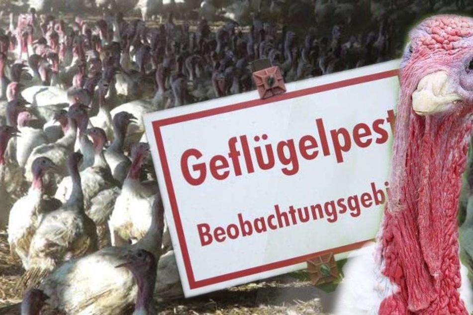 6500 sächsische Puten müssen wegen Vogelgrippe sterben