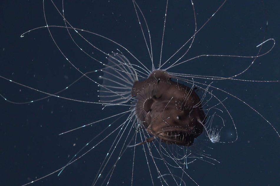 Die Forscher entdecken einen Fächerflossen-Seeteufel.