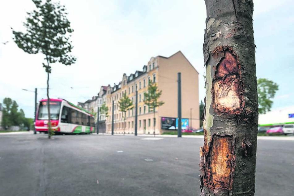 Am komplett neu gebauten Stadlerplatz lässt das Rathaus vier Bäume austauschen, weil Autofahrer dagegen gedonnert sind.