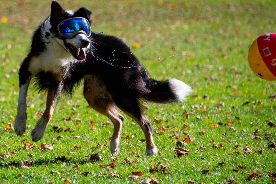 """Hündin """"Pepper"""" spielt mit Sonnenbrille geschützt in einem Park in Hamburg-Blankenese."""